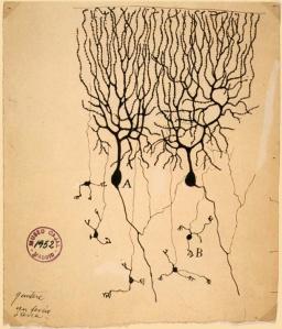 Dibujo de Santiago Ramón y Cajal de las neuronas del cerebelo de una paloma. Células Purkinje (A) y granular (B).